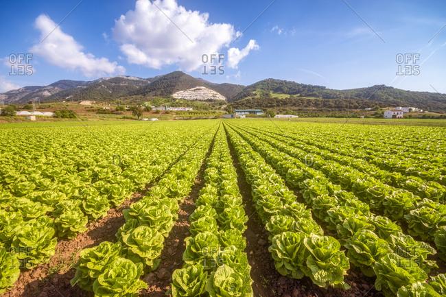 Spain- Andalucia- Zaffaraya valley- field of Lettuce