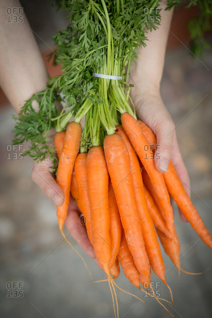 Hands holding bunch of carrot