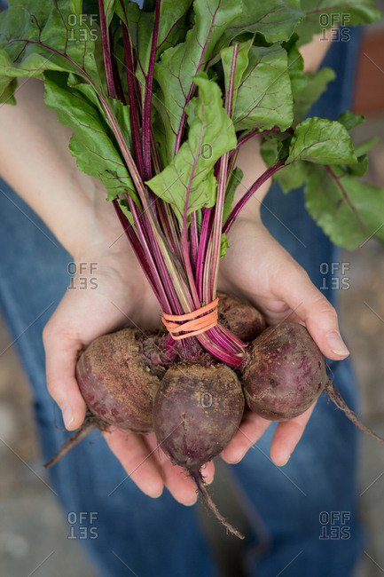 Hands holding bunch of beetroot