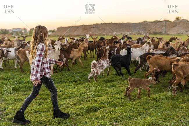 Girl herding a goat herd