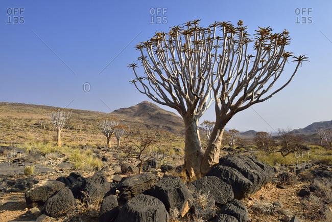 Africa- Namibia- Quiver tree- Aloe dichotoma- Namib Desert- Namib Naukluft mountains