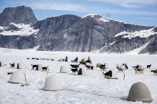 January 1, 2000: USA, Alaska, Juneau, the dogs prepare for their tour, Helicopter Dogsled Tour flies you over the Taku Glacier to the HeliMush dog camp at Guardian Mountain above the Taku Glacier, Juneau Ice Field