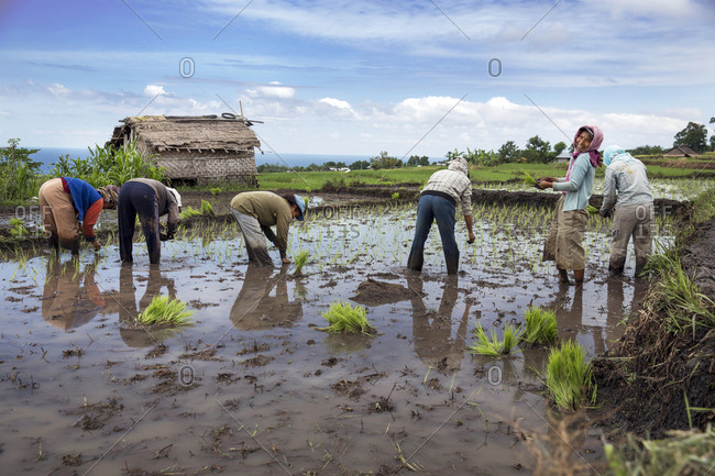 July 19, 2013: INDONESIA, Flores, women plant rice shoots in a field in Narang village