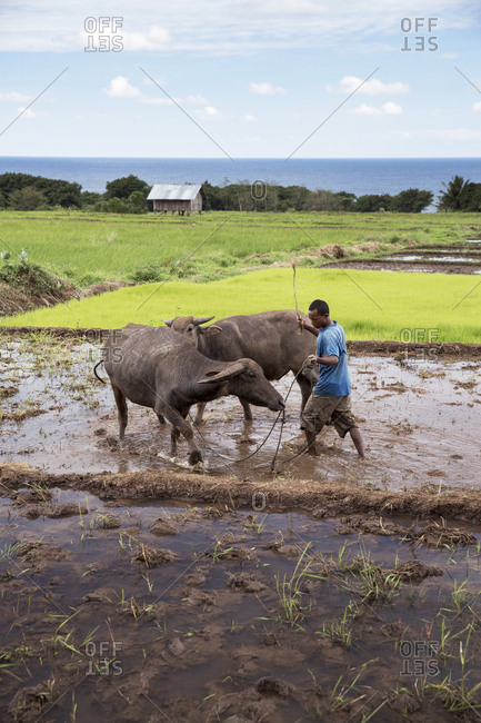 July 19, 2013: INDONESIA, Flores, a man walks his cows in circles through the mud to prepare his paddocks for planting rice, Dintor village