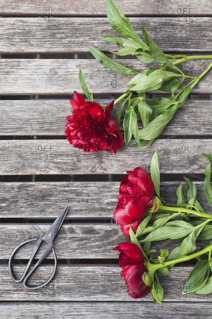 Red Peonies and scissors on garden table