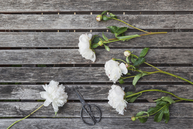 White Peonies and scissors on garden table
