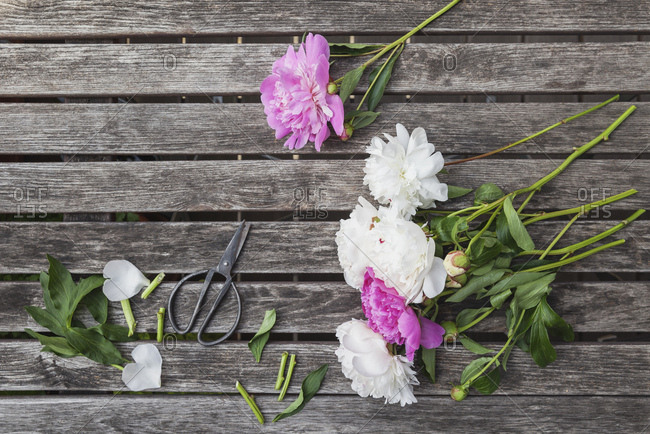 Pink and white Peonies and scissors on garden table
