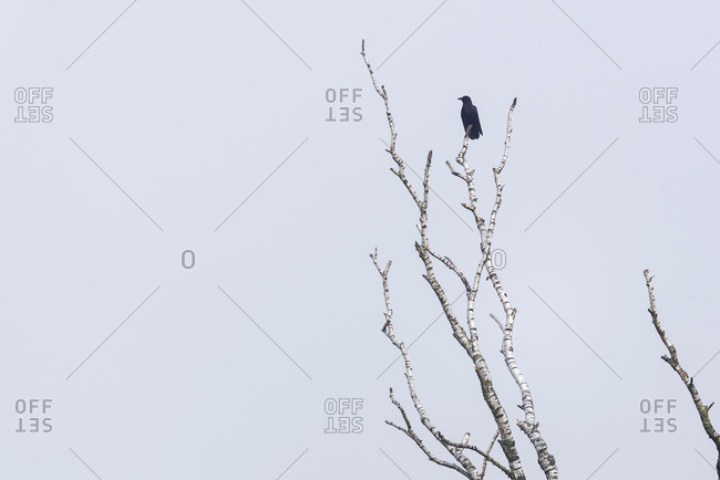 Silhouette of a crow on bare birch tree branches