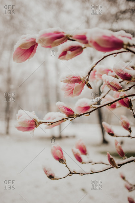 Magnolia blossoms covered in snow