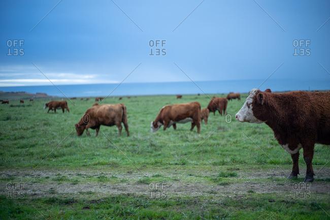 Cows in rural California