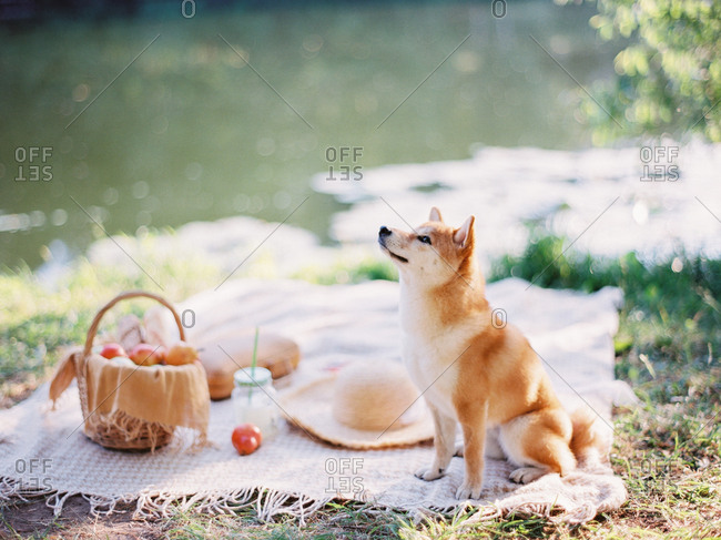 Furry dog sitting on picnic blanket by river