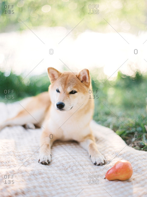 Dog sitting on picnic blanket by fruit
