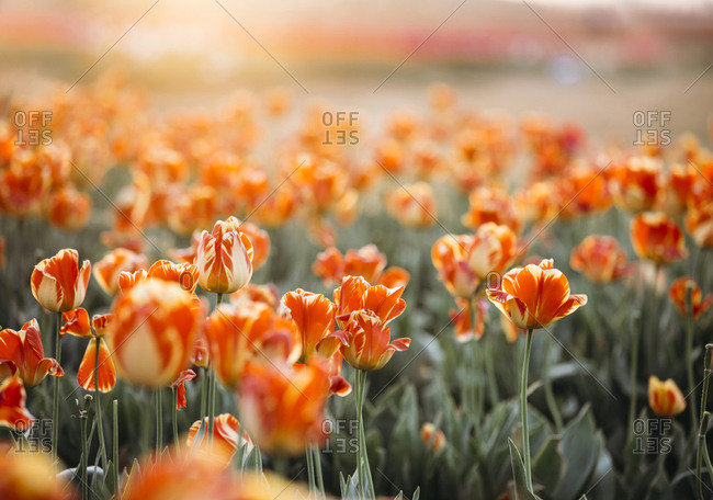 Orange tulips with sun shining behind
