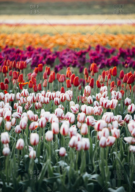 Rows of colorful tulips in a field