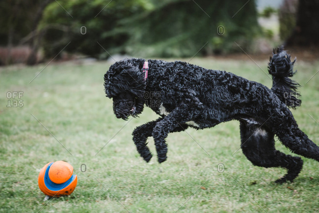 Black Labradoodle chasing a ball