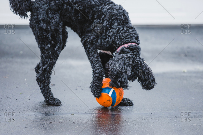Black Labradoodle with a ball