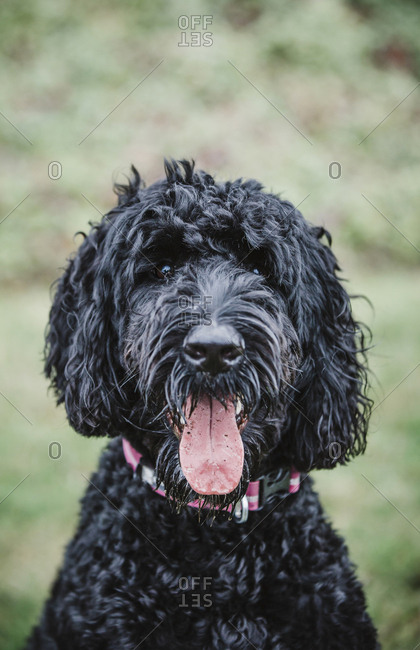 Happy black Labradoodle sticks out tongue