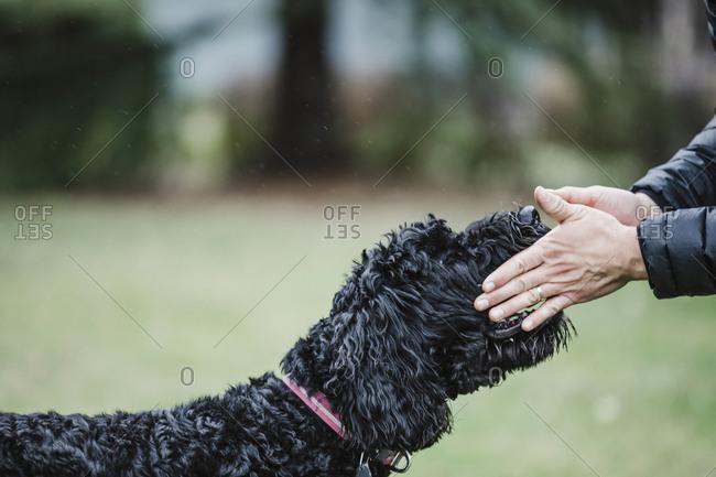 Owner pets black labradoodle