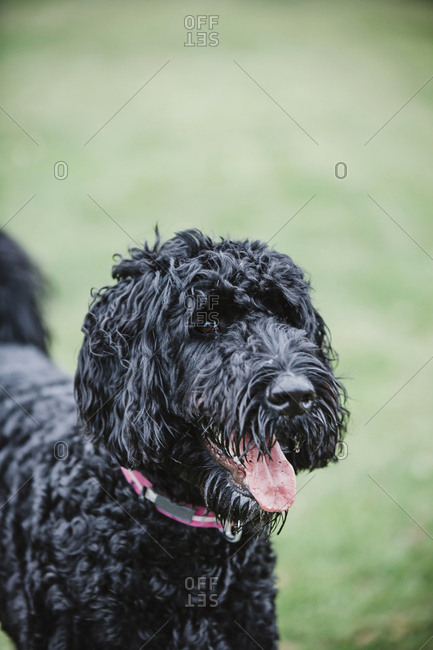 Black Labradoodle playing in a green yard