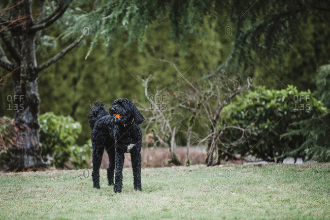 Black Labradoodle plays fetch