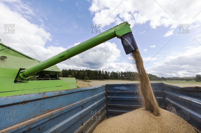 Loading wheat on trailer