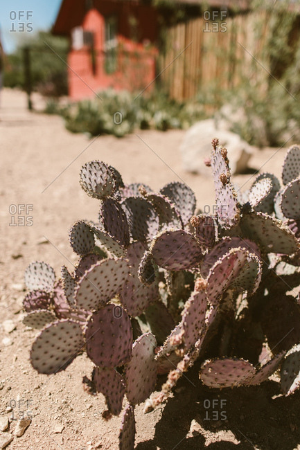 Purple cactus in the desert sun