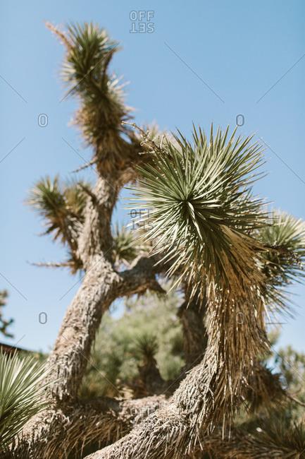 Joshua tree trunks in the desert sun