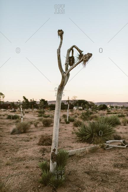 Dead Joshua tree in a desert at dusk