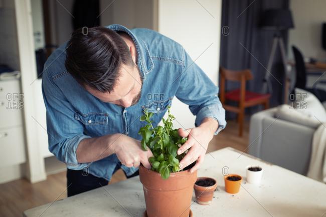 Man planting herbs into larger pots at home