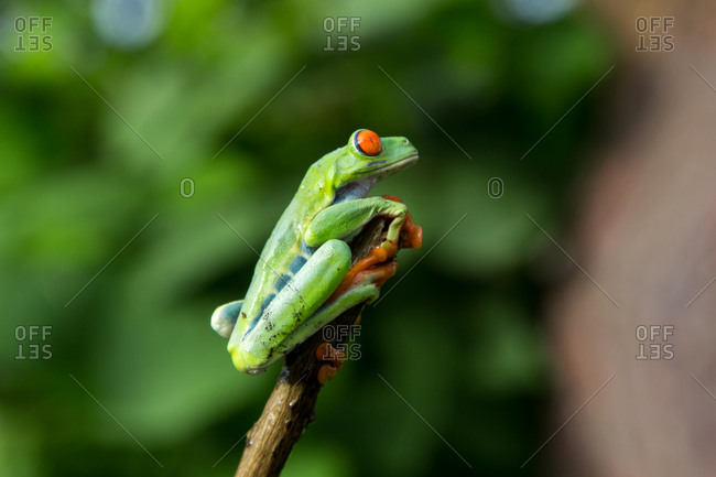 Side view of exotic red eyed tree frog sitting on branch on blurred background