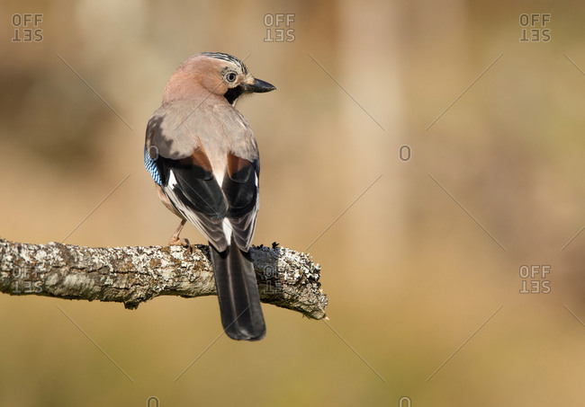 Back view of closeup wild jay bird sitting on tree branch on blurred background