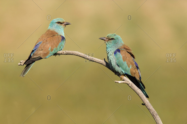 Colourful bee eaters sitting on branch near grass on field on blurred background