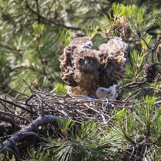 Furious wild eagle looking at camera and sitting near little bird in nest between coniferous twigs