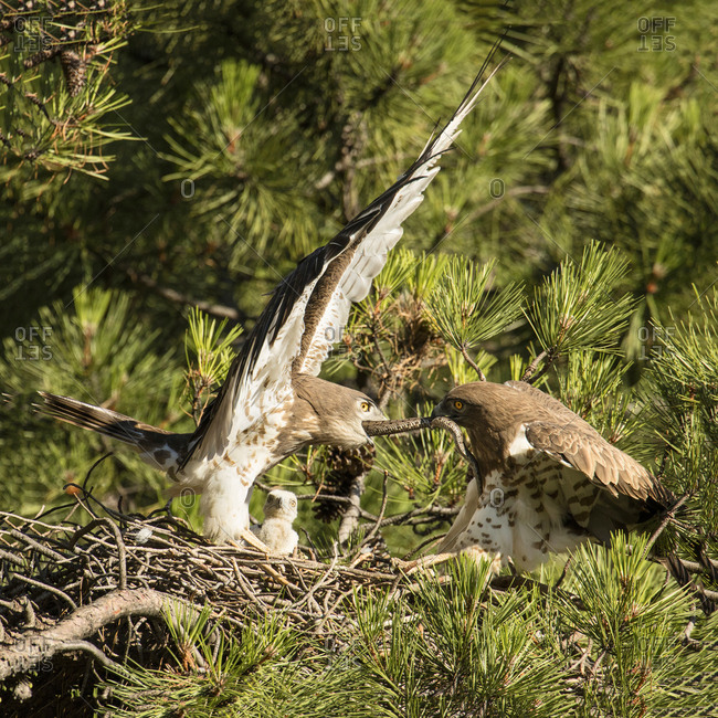 Furious wild eagle fighting for a snake in nest between coniferous twigs