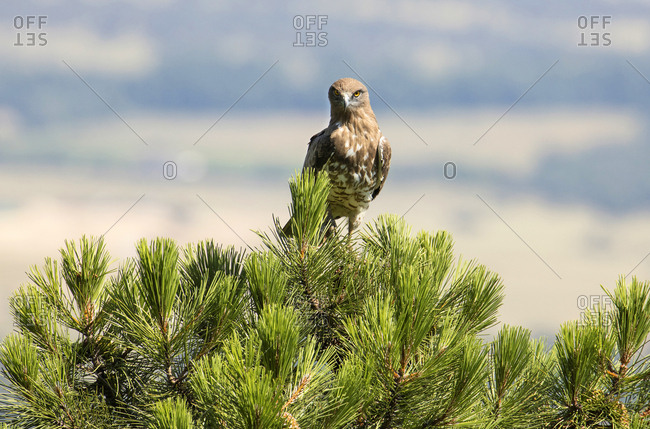 Furious wild eagle looking at camera and sitting on top of green wood on blurred background