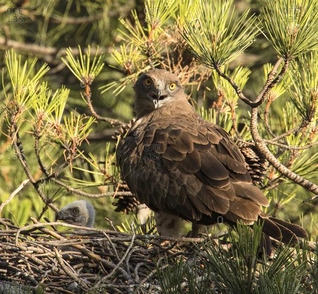 Furious wild eagle sitting near little bird in nest between coniferous twigs