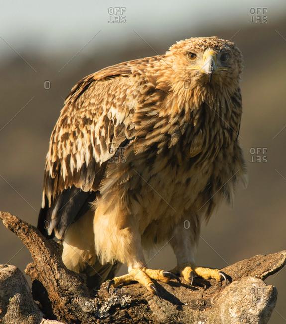 Furious wild eagle closeup