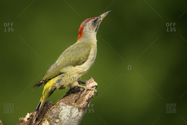 Side view of closeup wild green woodpecker sitting on tree branch on blurred background