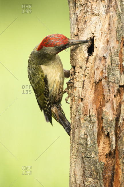Side view of closeup wild green woodpecker sitting on tree on blurred background