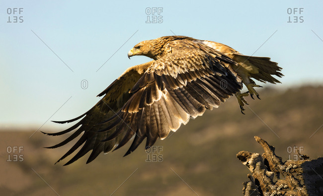 Furious wild eagle flying and sitting on top of green wood on blurred background