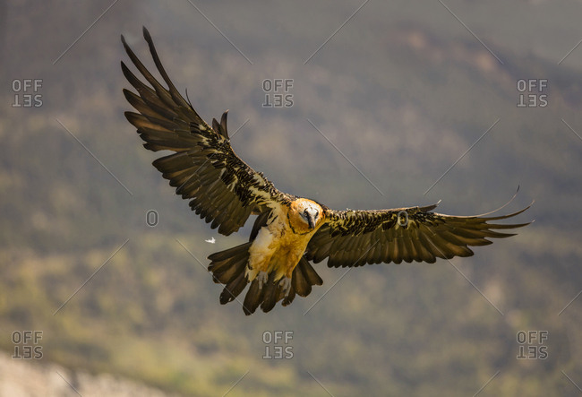 From below big wild eagle flying near mountains on blurred background