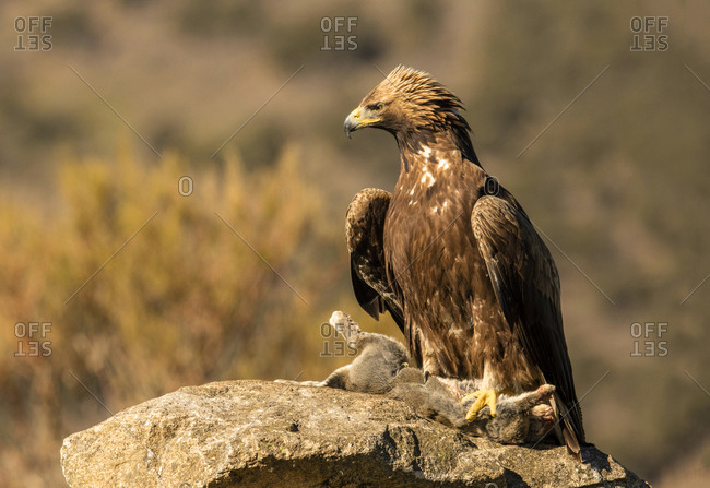 Furious wild eagle with a rabbit