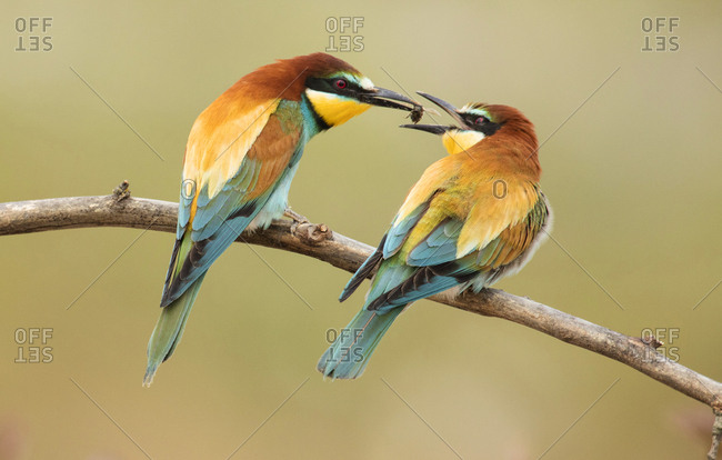 Colourful bee eaters sitting on branch and catching dragonfly on blurred background