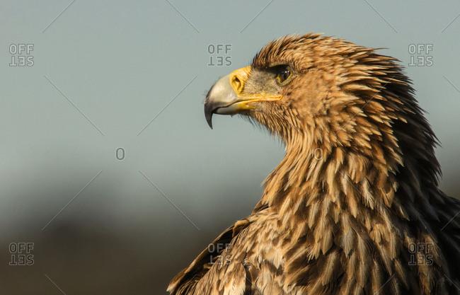 Furious wild eagle