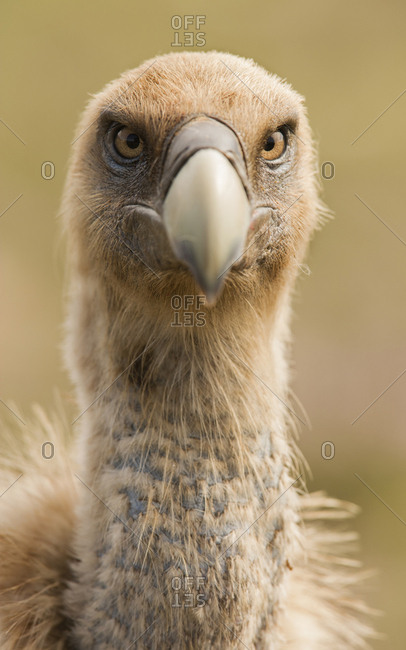 Closeup of furious wild vulture looking at camera on blurred background