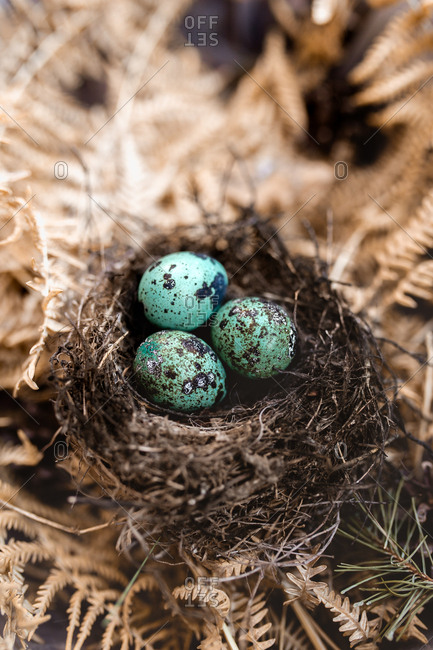 blue eggs in the nest