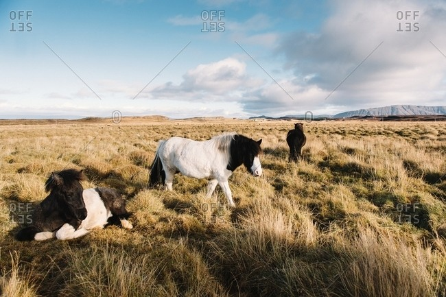 Beautiful wild horses pasturing on meadow with dry grass in Iceland