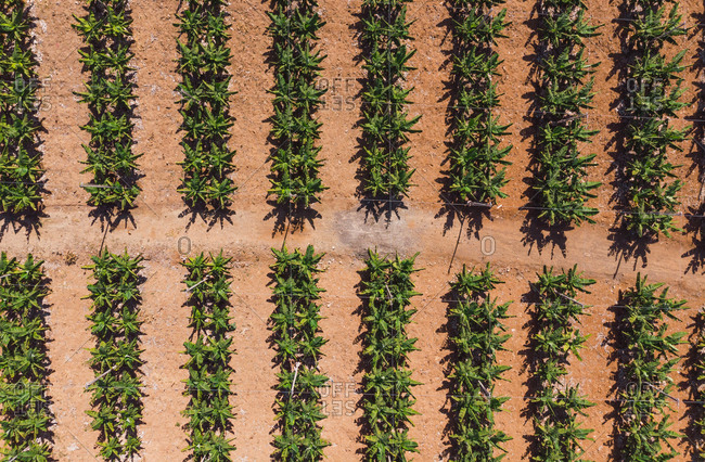 Top view from drone of green bushes of bananas growing on plantation in sunlight