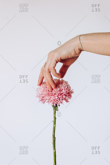 Person touching the pink flower