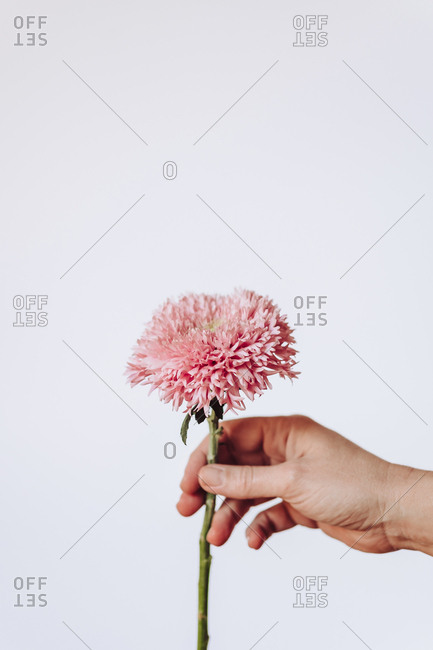 Person holding the pink flower